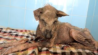 Download Her spirit was broken; incredible transformation of dying dog Video