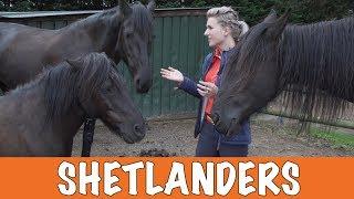 Download Voor- en nadelen van Shetlanders!| PaardenpraatTV Video