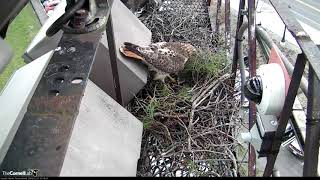Download Big Red's Mate Nails the Dismount While Delivering Sticks to the Nest, Feb 21, 2018 Video