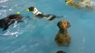Download Hilarious dog deadpans in a pool full of playful pups Video