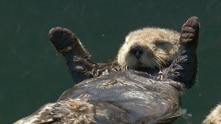 Download Matt Baker checks in on otter pups - Big Blue Live: Episode 3 - BBC One Video