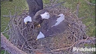 Download SWFL Eagles ~ Morning Activities; Sleeping In Nest ~ M Disturbs Harriet's Shimmy w/Stick 11.15.17 Video