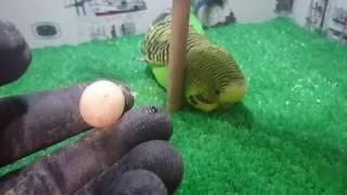 Download Muhabbet Kuşu Yumurtlama Anı Çok Net Video