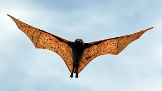 Download The Biggest Bat Of The Planet Video