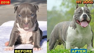Download American Bully dog Transformations # 2018 Video