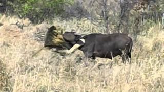 Download Mapogo Lion Take Down Video