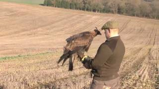 Download Hunting hares with a golden eagle Video