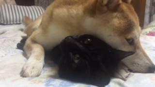 Download 猫が好きすぎて離したくない柴犬 dog and cat are best friend Video