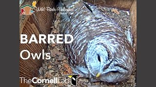 Download Wild Birds Unlimited Barred Owl Cam Video