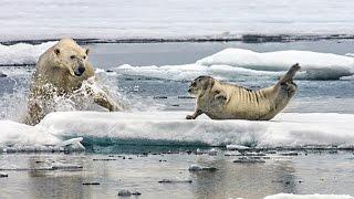 Download Un ours polaire affamé surprend un phoque - ZAPPING SAUVAGE Video