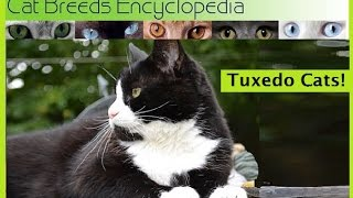 Download Tuxedo Cats Cat Breeds Encyclopedia Video