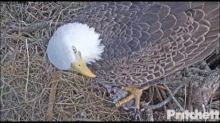 Download SWFL Eagles ~ My Lunch Is Quite Tasty; M Delivers Bird To Harriet 11.15.17 Video