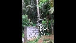 Download Srilankan great dane dog Video