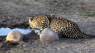 Download Djuma: Hosana and Thandi(with cub Tlalamba) - 16:46 - 07/31/18 Video