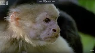 Download Monkey's Bluff | Clever Monkeys | BBC Earth Video