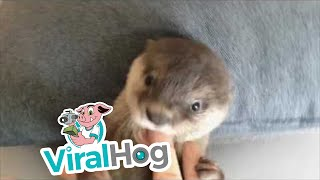 Download Baby Otter Loves to Nibble || ViralHog Video