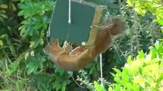 Download Squirrel stopped by the RollerFeeder Video