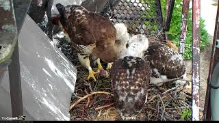 Download Feeding Time For Red-tailed Hawk Chicks – May 23, 2018 Video