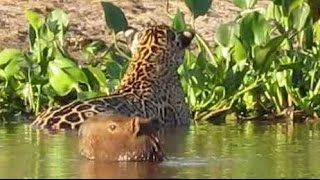 Download Flagra no Pantanal: Onça ataca capivara * Jaguar attacks capybara Video