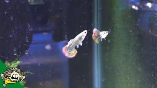 Download My Fish Room Tour - AKA the Guppy Algae Farm! Video