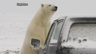 Download Polar bears descend on Alaskan village, causing tourist boom: Part 1 Video