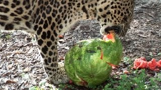 Download Big Cats Eat Watermelons!? Video