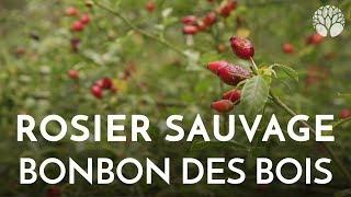 Download Rosier sauvage, bonbon des bois Video