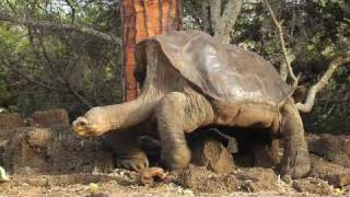 Download Visiting Lonesome George at the Charles Darwin Station Video