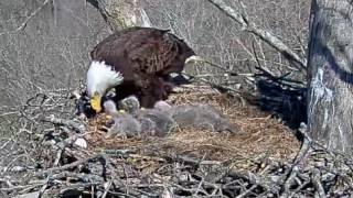 Download Dale Hollow Eagle Cam, Full Feeding, 031617 Video