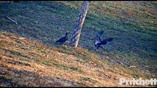 Download SWFL Eagles ~ Playfulness At The Pond ~ E10 Dips Toe In Water 3.18.18 Video