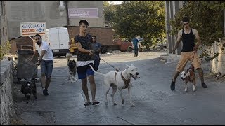 Download 1 DOGO ARGENTİNO 1 AMERİCAN BULLY 1 KAFKAS ÇOBAN 2 PİTBULL SOKAĞA ÇIKTIK DEPREM ETKİSİ!! Video