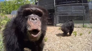 Download Former Research Chimps go Out in a Forest for the First Time Video