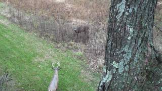 Download Whitetail buck looking for a fight Snort-Weeze at Decoy Video