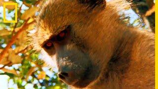 Download Des jeunes lions grimpent dans les arbres pour capturer des babouins Video