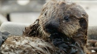 Download Sweet Shell Smashers! | Amazing Animal Babies | Sea Otters (Ep 7) | Earth Unplugged Video