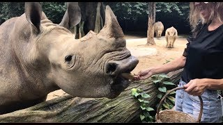 Download LET ME TEACH YOU HOW TO FEED A WHITE RHINO IN SINGAPORE Video