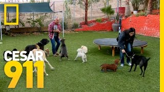Download Two Dogs, One Mission   Cesar 911 Video