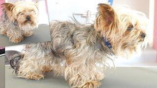 Download PetGroooming - Yorkie Transformation of the Month! Grooming Yorkshire Terrier. Video