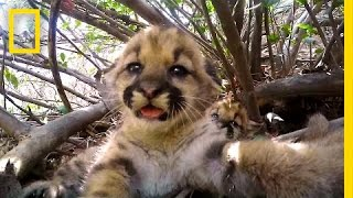 Download Cute Mountain Lion Kittens | National Geographic Video