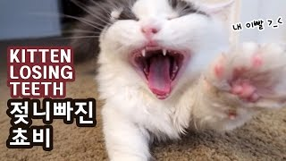 Download 유튜브 최초! 고양이 이빨 빠지는 순간! 젖니 빠진 쵸비 KITTEN BABY TEETH FALL OUT Video