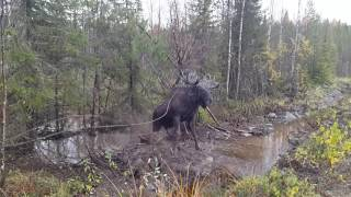 Download Бедняга лось запутался в проводах Video