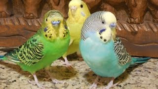 Download 8 Hours Parakeets Bird Chirping Sounds, Prevent heart diseases, hyper tension Video