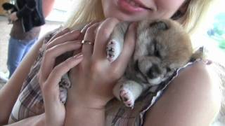 Download CUTEST PUPPIES SHIBA INU 20 days old Video