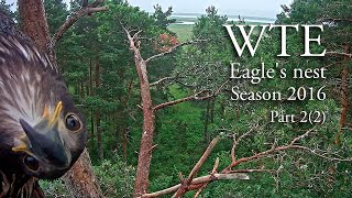 Download Life in white-tailed eagles' nest in Estonia. Part 2, 2016 Video