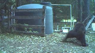 Download INSTANT KARMA bear gets hit in the nuts for messing with my water tank Video