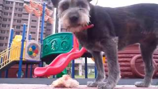 Download SMALL DOG EATS WHOLE RAW CHICKEN!! Video