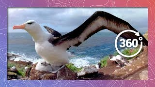 Download Black Browed Albatross Cares for Chick | Wildlife In 360 Virtual Reality Video