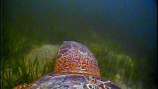 Download The Traveling Turtle - Loggerhead Sea Turtle Critter Cam Video