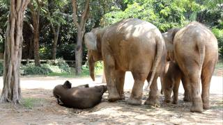 Download Baby Elephant Stuck on Electric Fence Video