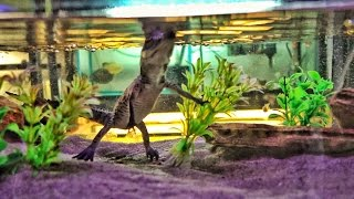 Download You Can Buy Baby Crocodiles For $180 Video